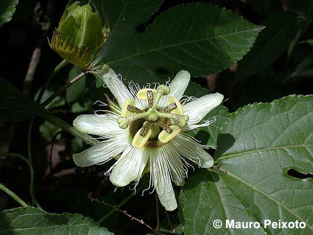 Passiflora Edulis Habitat Passiflora Edulis Alba
