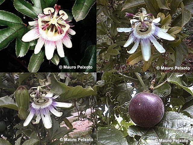Passiflora Edulis Habitat Passiflora Edulis Edulis