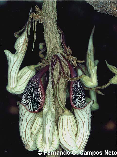 Tình yêu cây cỏ ĐV2 - Page 2 Aristolochia-chamissonis