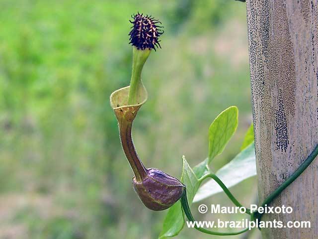Tình yêu cây cỏ ĐV2 - Page 10 Aristolochia-odora