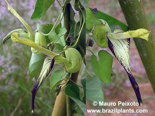 Tình yêu cây cỏ ĐV2 - Page 18 Aristolochia-warmingii